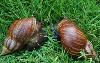 褐云玛瑙螺