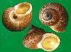 褐带环口螺