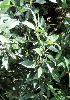 长叶柄野扇花