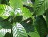 大萼鹿角藤