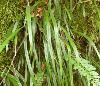 矮叶书带蕨