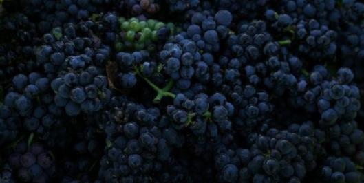 详解山葡萄的功效和作用以及营养价值
