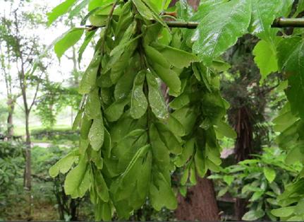 三叶槭根的功效与作用有哪些