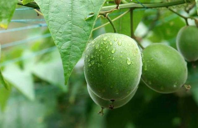 罗汉果的种植技术及病虫防治