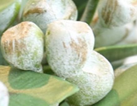 中药桉树果值得注意的禁忌