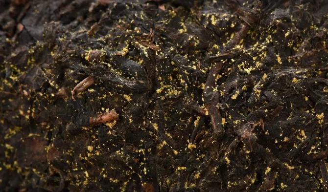 杜仲金花-冠突散囊菌