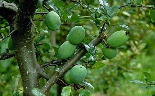 清明时节雨纷纷,而木瓜枝可是专去湿气的好药!
