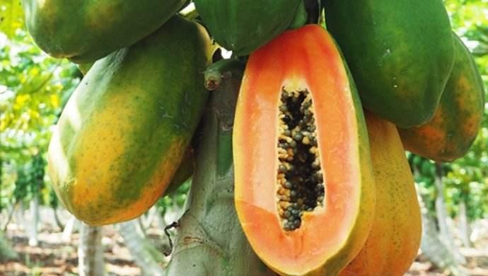 木瓜的功能与功效