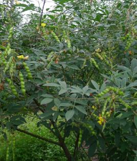 木豆叶的功效与作用