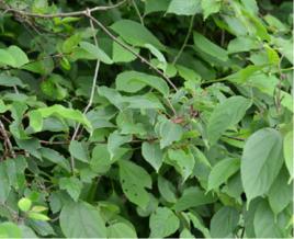 猕猴梨叶的功效与作用