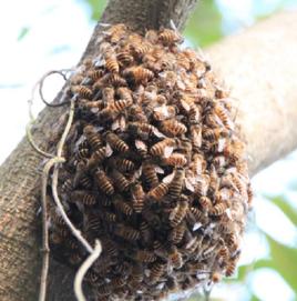 蜜蜂子的功效与作用