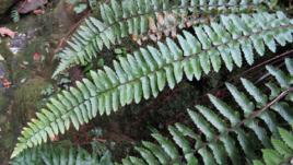 毛轴铁角蕨的功效与作用