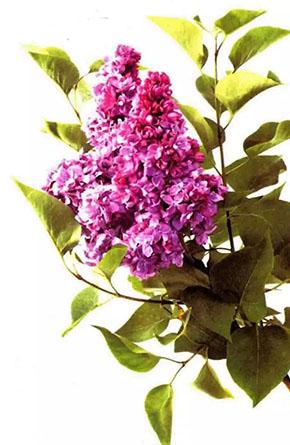 丁香花与药用丁香有什么区别?