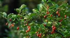 木半夏根的功效与作用及相关药方