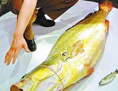 为什么80斤的黄唇鱼能卖400万