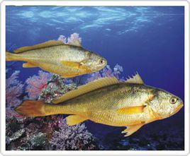 黄花鱼和黄唇鱼的区别