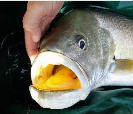 为什么黄唇鱼会有这样一个名字