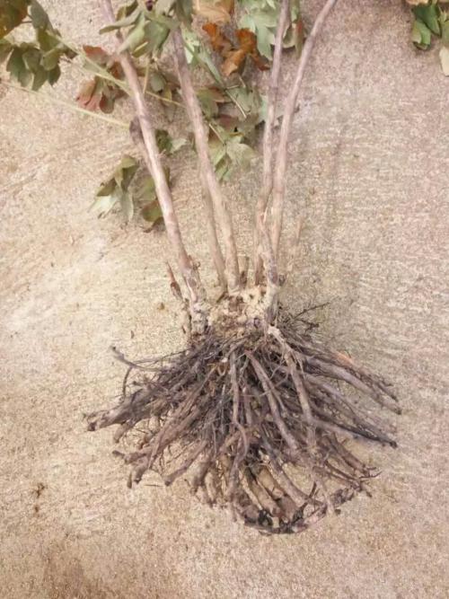 药用植物牡丹根腐病的原理