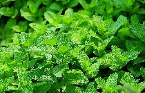 薄荷的植物学特性及生态习性