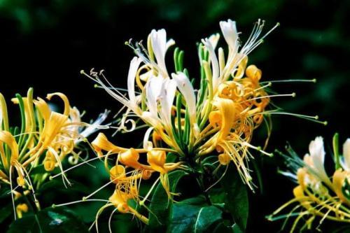 金银花常见虫害特点及防治方法