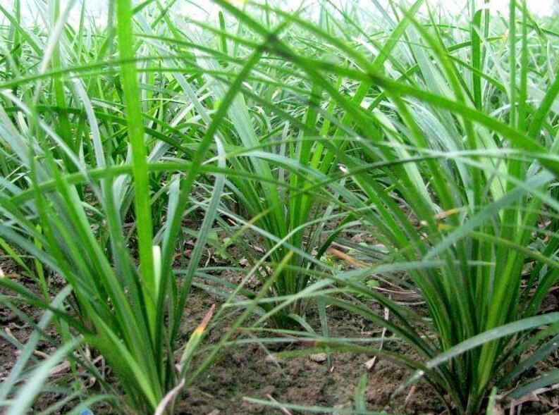 麦冬泡水喝的功效,麦冬泡水喝的禁忌