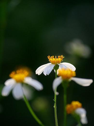 白花鬼针草