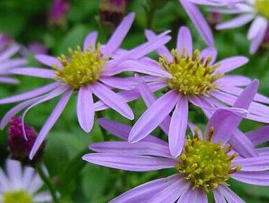 阿尔泰紫菀