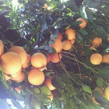 【食疗】葡萄柚的食疗方