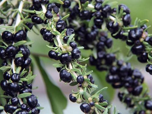 黑枸杞花青素的含量,黑枸杞花青素的作用