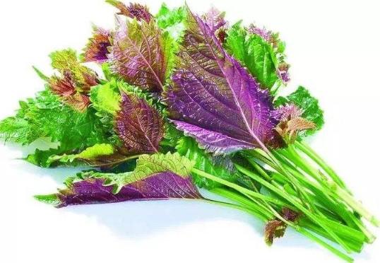 紫苏叶能治感冒吗